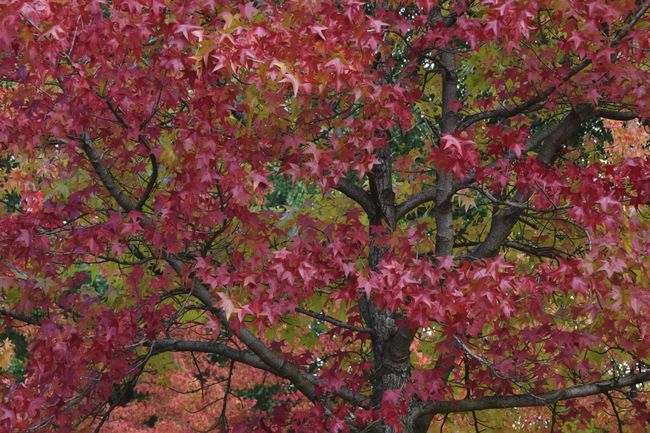 Autumn is already here II Dramatic Angles Beauty In Nature Change Nature Vibrant Color Red Tree Leaves Autumn Autumn Colors Autumn Leaves Foliage Backgrounds in Junkersdorf Köln Germany