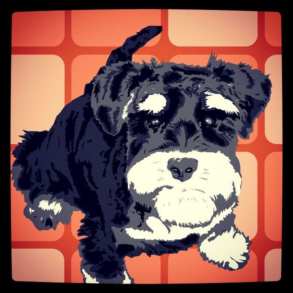 Willy ♥ Illustrationsarbeit Illustration Art Verktorgrafik Verctorgraphic Grafik Layout Poster Hund dog zwergschnauzer minischnauzer