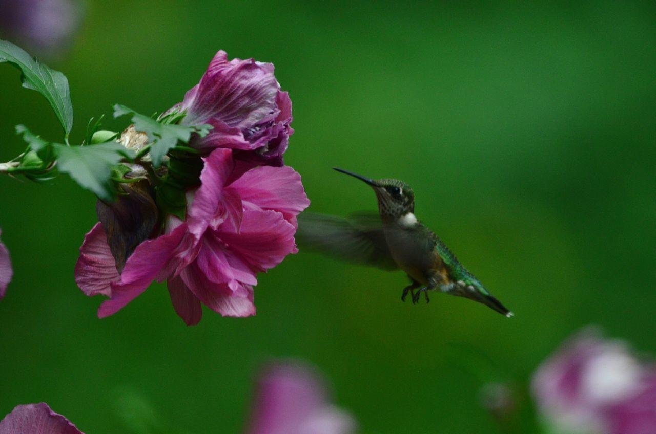 Rose Of Sharon Ruby Throated Hummingbird Hummingbirds