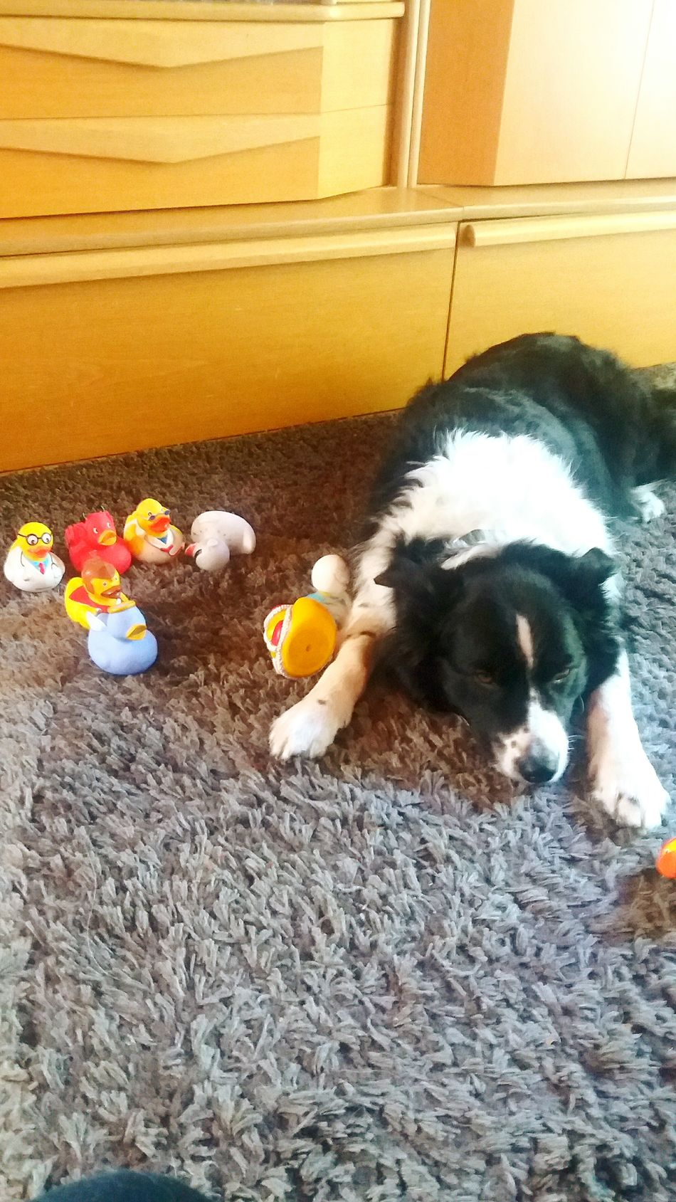 Womit soll ich nur spielen? Ich habe zu viel zur Auswahl Animal Themes Domestic Animals Pets Mammal One Animal High Angle View Indoors  Togetherness Day No People Animal Zoology Playing Photography Photographer Photoshoot Sleeping Pet Photography  Pet Border Collie Australienshepard Bordercollie