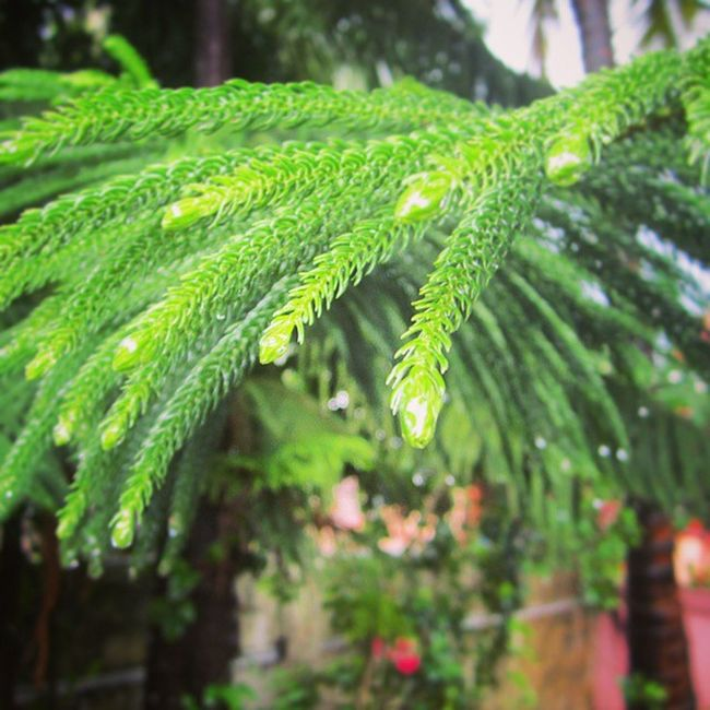 Rainy Day click, I didn't get it quiet as what I had I my mind. Just an attempt though Rain Green Nature Drop Dew Beauty Home Red Leaves Spikes Natural Canon 12MP Elegant Beautiful Click Spontaneous : Sreeni