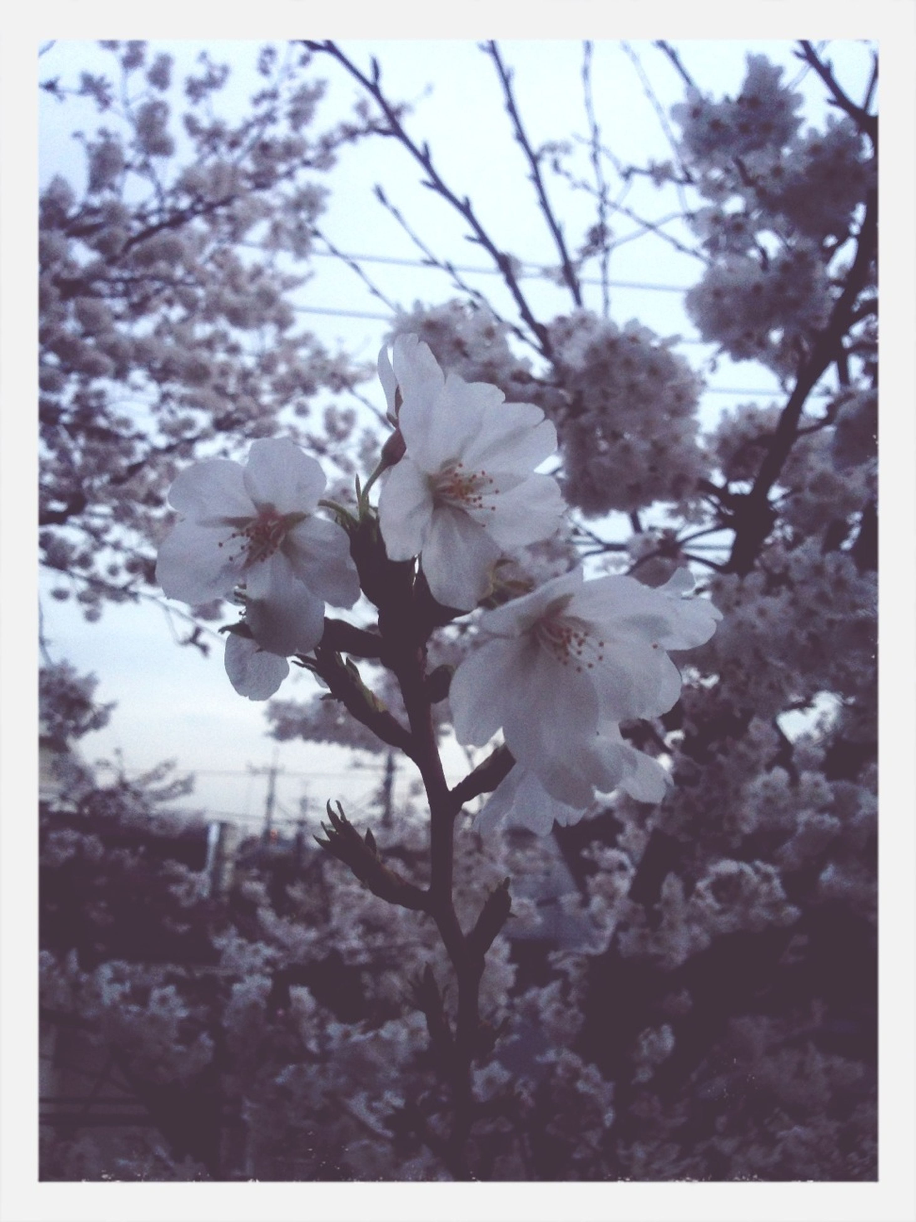 flower, freshness, growth, transfer print, fragility, beauty in nature, nature, branch, auto post production filter, blossom, tree, petal, in bloom, blooming, close-up, flower head, white color, focus on foreground, cherry blossom, springtime