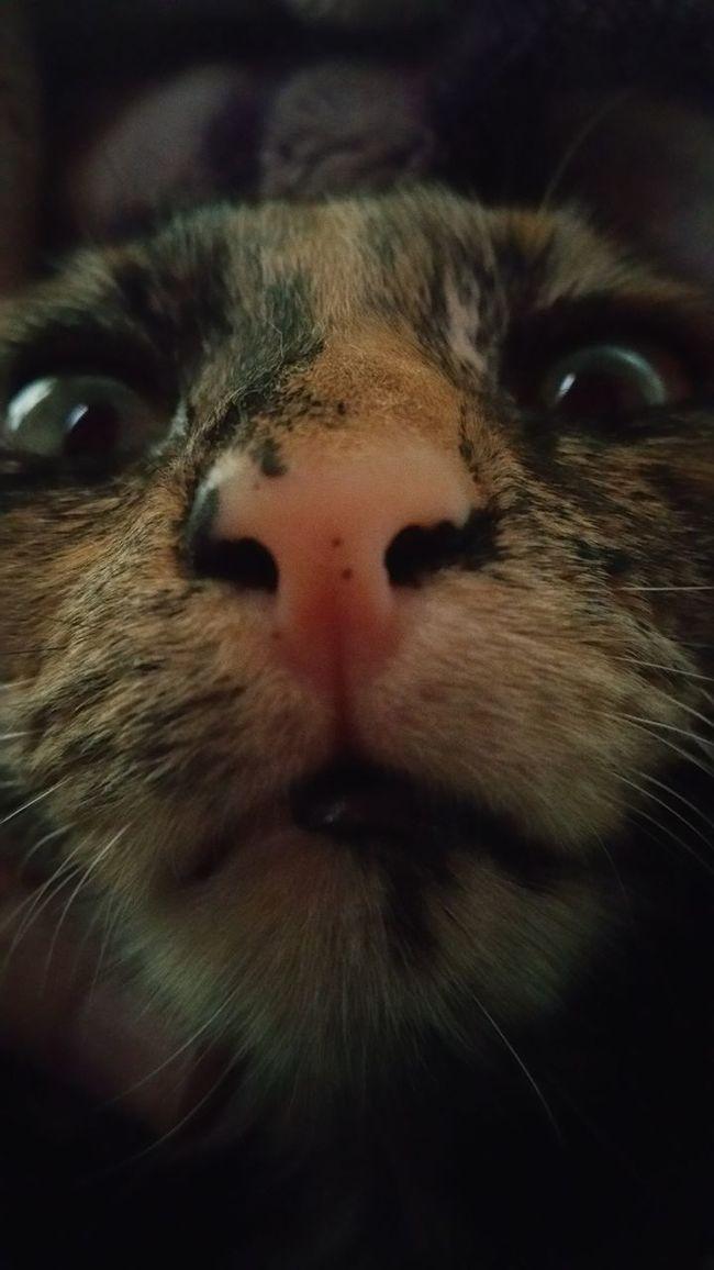 Hello World Kitten Abbicat Cheese! Abbicat Tortoiseshell Cat Being Silly Those Eyes Kitten Nose
