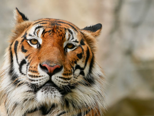 Tiger Face Tiger Bengal Cat Animal Head  Portrait Animal Wildlife One Animal Close-up Animals In The Wild Looking At Camera Nature Day Leopard Mammal Animal Themes No People Outdoors