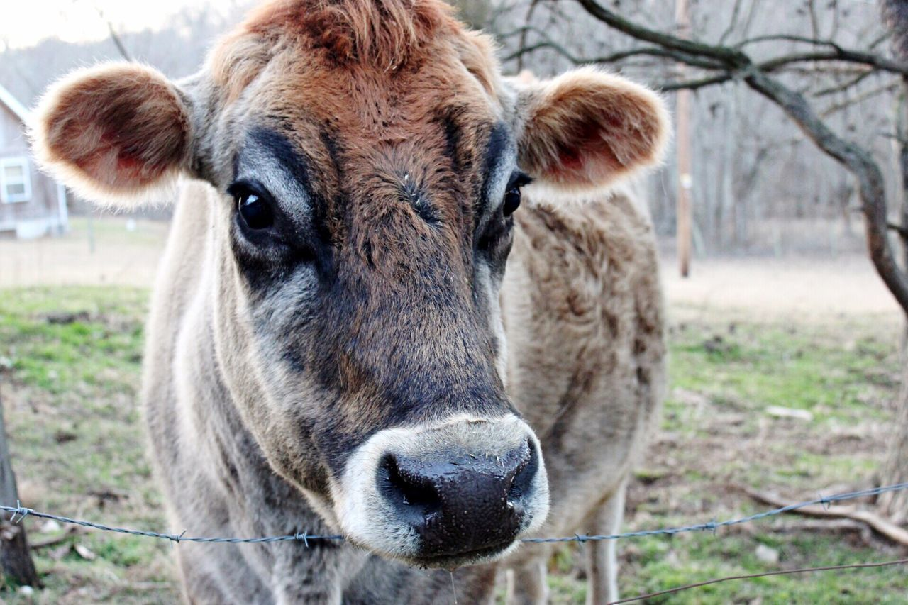 domestic animals, animal themes, livestock, focus on foreground, field, outdoors, day, no people, mammal, looking at camera, close-up, portrait, one animal, nature