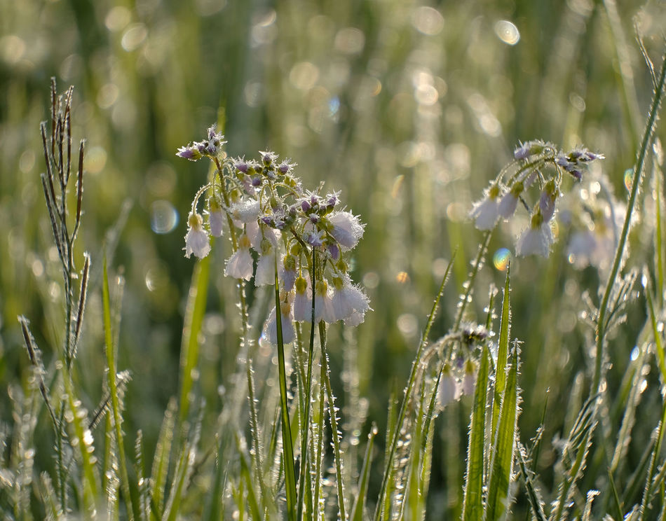 Beauty In Nature Blades Of Grass Close-up Day Early Morning EyeEmNewHere Field Flower Fragility Freshness Grass Area Growth Ice Cristals On Flower Lens Flare Nature No People Outdoors Plant Tranquility Water Drops On Grass Blades White Frost White Frost On Flower