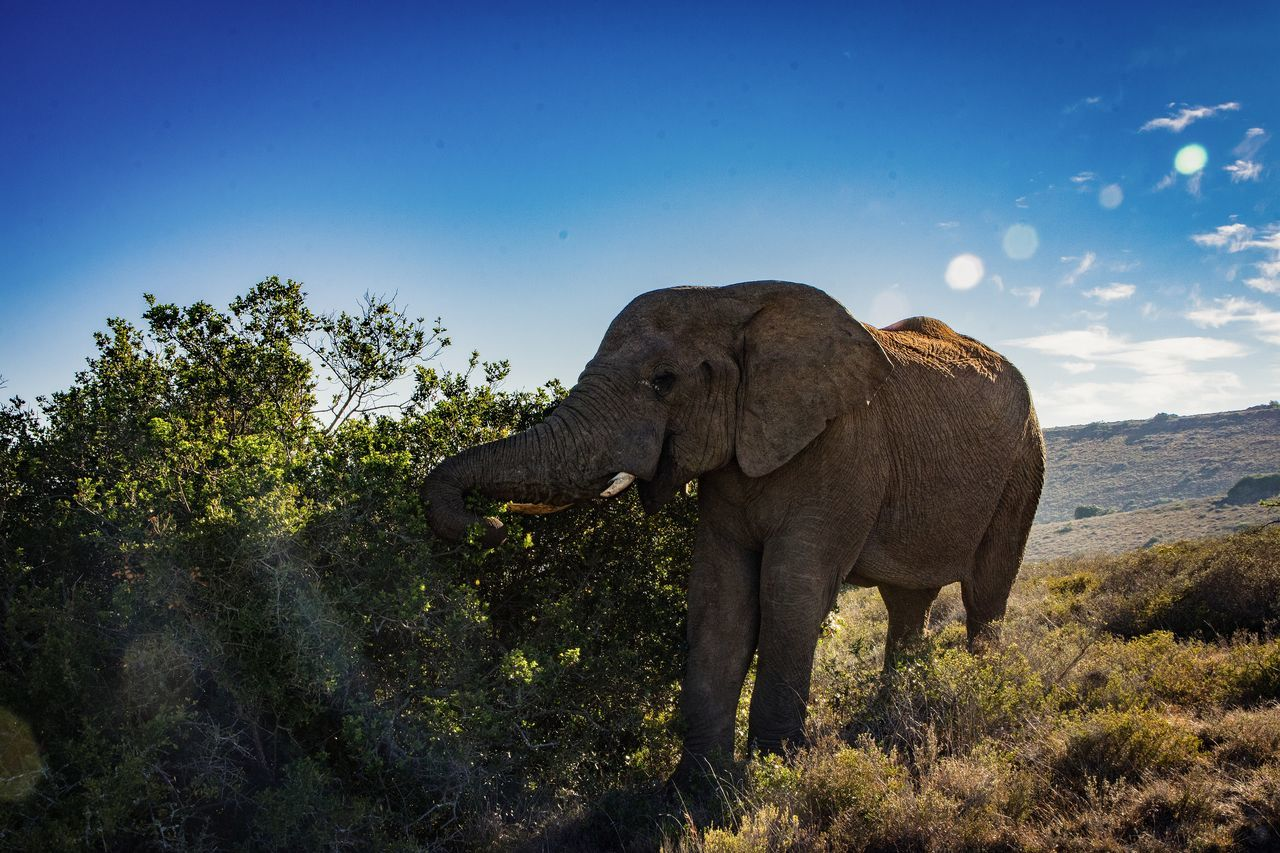 African Elephant Animal Themes Animal Trunk Animal Wildlife Animals In The Wild Beauty In Nature Blue Clear Sky Elephant Low Angle View Mammal Nature Nature Nature Photography Nature_collection No People One Animal Outdoors Safari Animals Sky Tree Tusk