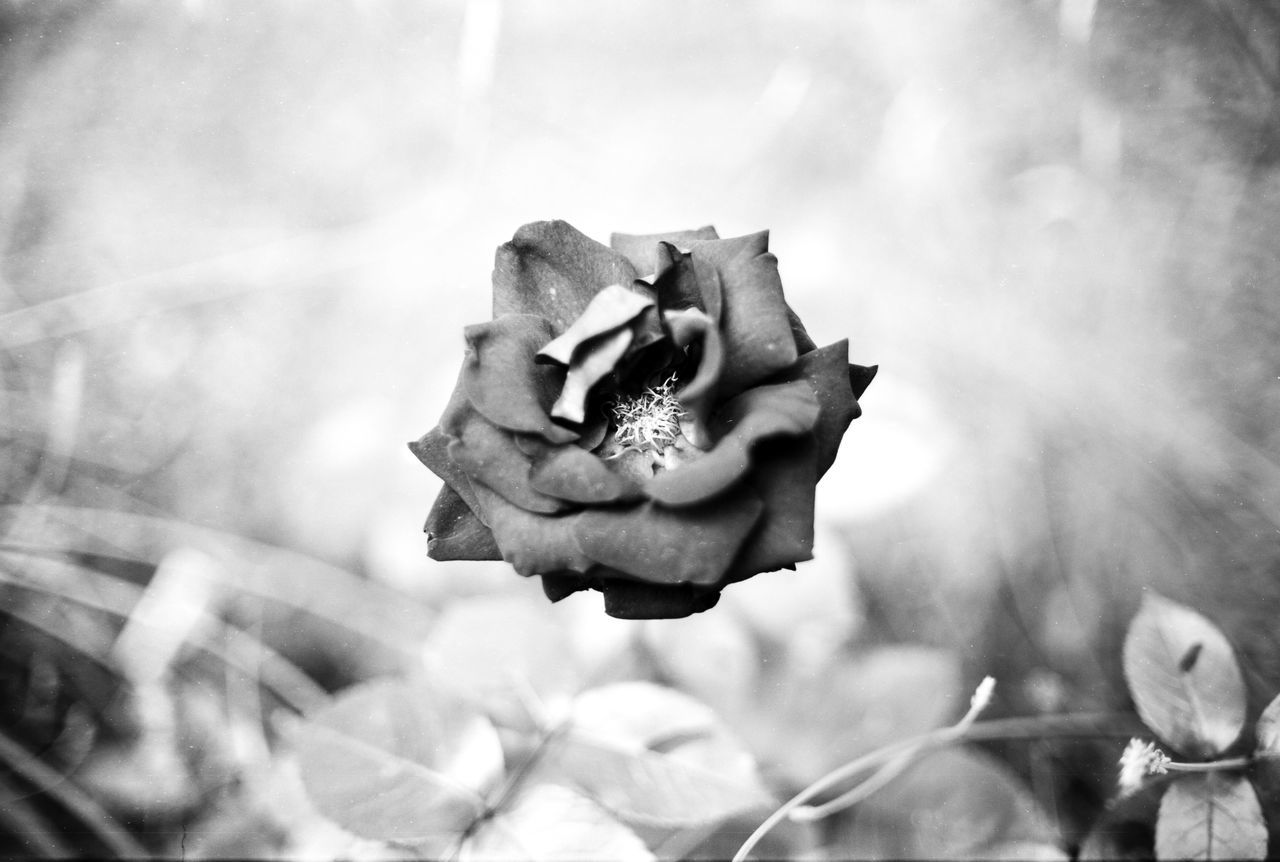 Location: Blumenstraße Canon A-1 | Adox CMS 20 II | Adox Adotech III ADOX Adox Adotech III Adox CMS 20 II Black And White Blackandwhite Canon A-1 EyeEm Best Shots - Black + White Monochrome Roses Rose🌹