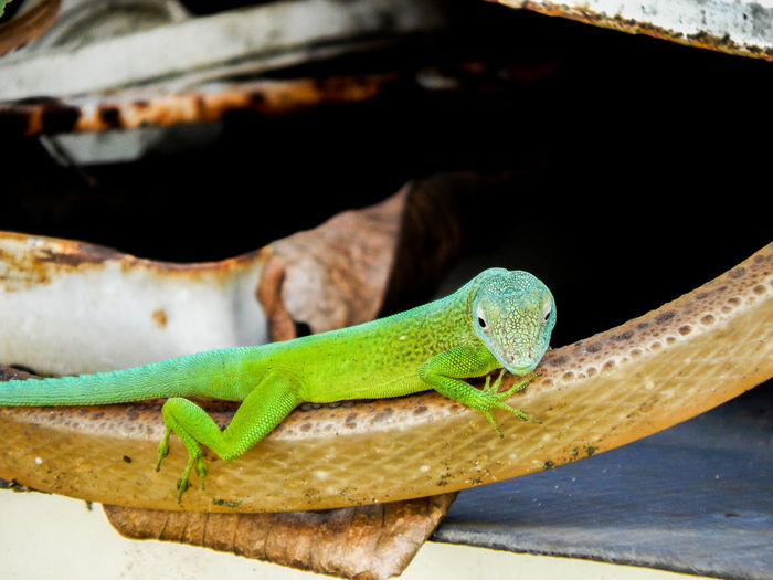Animal Themes Anolis BossplayaPictures© Day Green Green Color Guyane Francaise Lizard Nature Nature Photography Nature_collection No People One Animal Outdoors Photography Reptile Reptiles