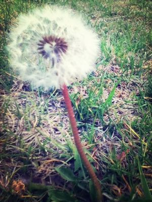 dandelion at Central Park by 🇮🇹кαтнєяιиєF320🇪🇸