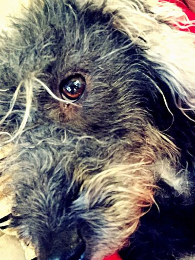 Dog Dog Love Close Up Close-up Dog Eyes Bedoodle Bedlington IPhoneography Iphonephotography IPhone Photography Cheshire Cute Pets Cute Dog  Scruffy Scruffy Dog IPhone Only Posing For The Camera Taking Photos Chilling EyeEm Animal Lover Eyeem Animal