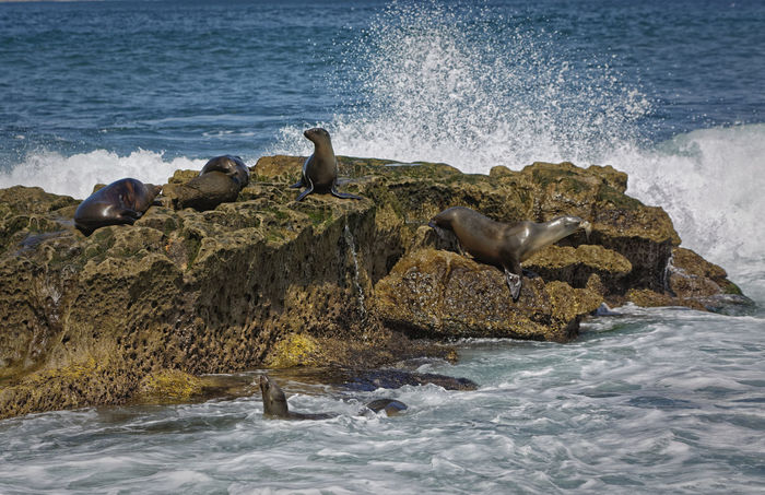 sea lions relaxing on a rock in the ocean with waves in the background Nature Otariidae Otariinae Animal Themes Animal Wildlife Animals In The Wild Aquatic Mammal Beauty In Nature Large Group Of Animals Nature No People No People, Outdoors Perching Rock Rock - Object Rock Formation Rock-object Rocky Coastline Sea Sea Lion Seal Seal - Animal Water Wave