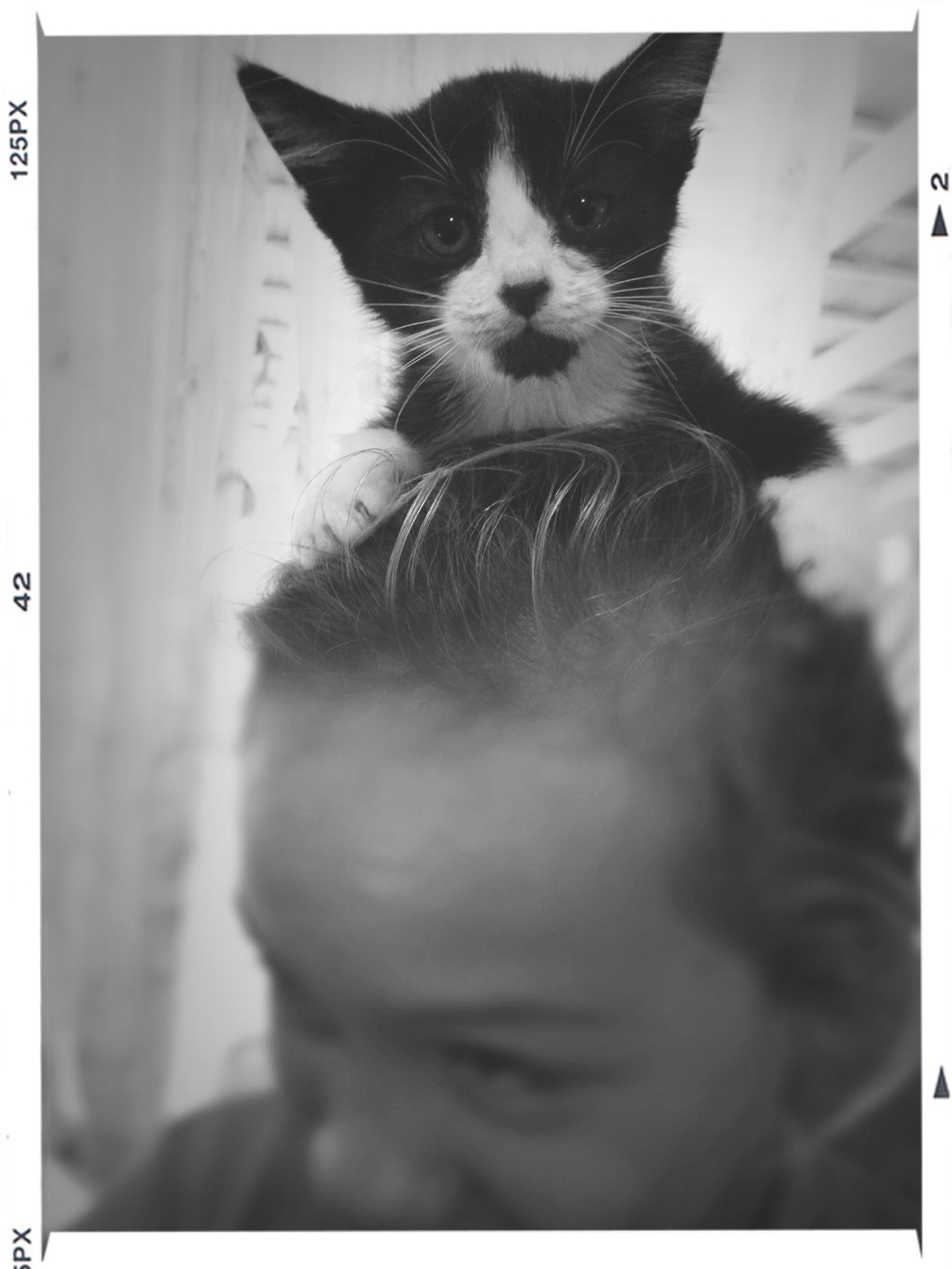 transfer print, auto post production filter, one animal, pets, animal themes, indoors, domestic animals, domestic cat, mammal, cat, close-up, looking at camera, portrait, home interior, feline, front view, selective focus