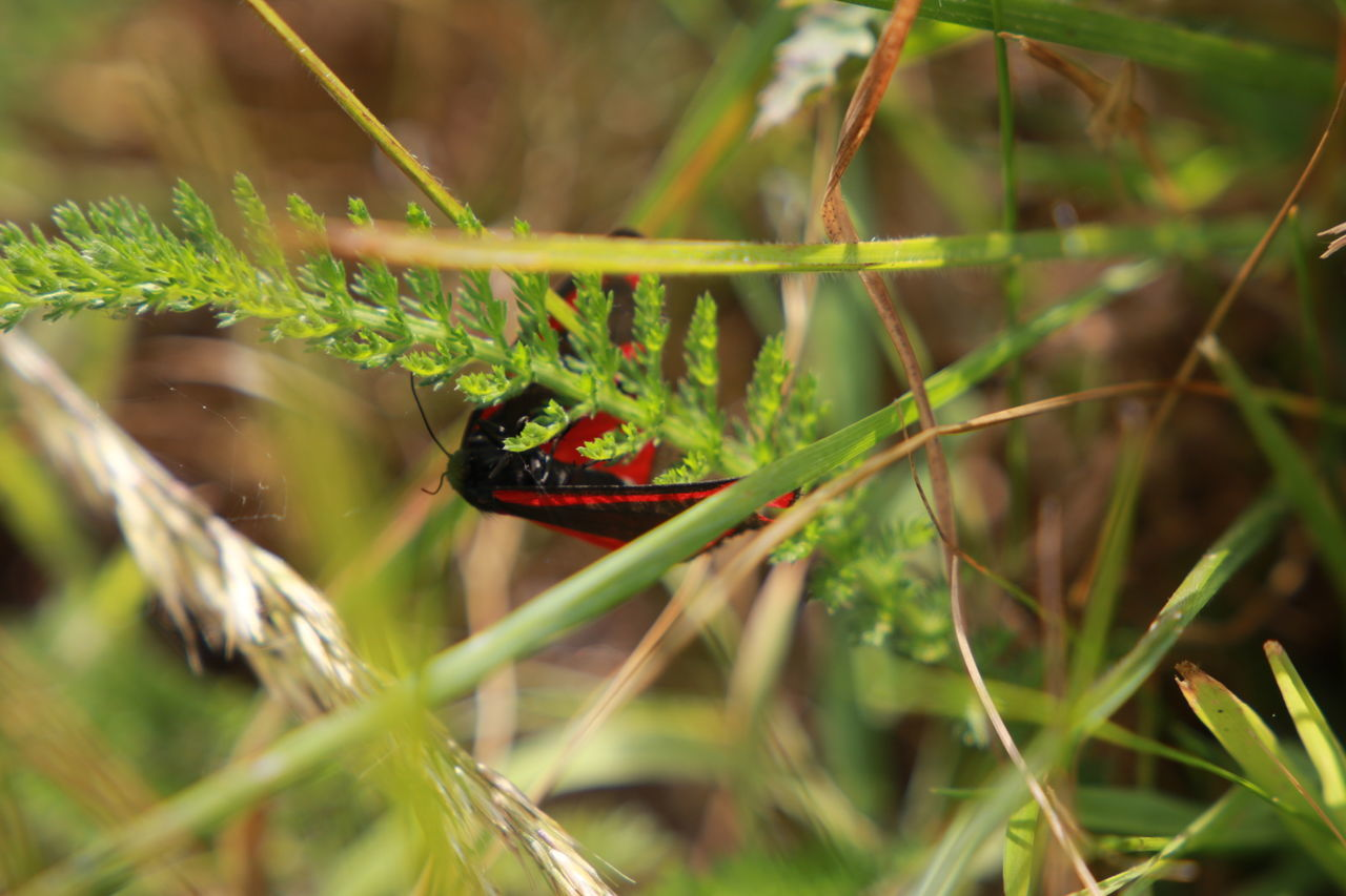 animal themes, animals in the wild, one animal, insect, day, selective focus, green color, grass, nature, no people, ladybug, close-up, animal wildlife, outdoors, plant, red, growth