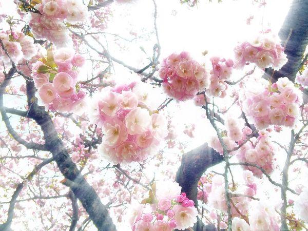 EyeEm Tokyo Meetup 8 Cherry Blossoms Sakura Flowers Flowerporn Spring Spring Report Nature Nature_collection EyeEm Nature Lover