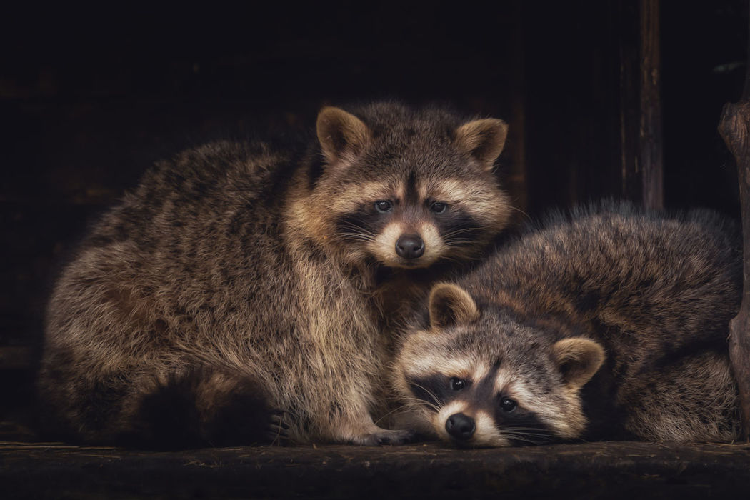 Animal Themes Animal Wildlife Animals In The Wild Bavaria Close-up Cute Lohberg Looking At Camera Looking At Camera Mammal Nature Night No People Outdoors Park Portrait Raccoon Raccoons Togetherness Two Animals Wild Young Animal Zoology