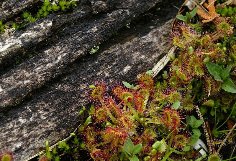 Drosera Carnivorous Plant Tree Trunk On The Lakeshore Eye4photography  EyeEm Best Shots Plants Passion For Nature EyeEm Nature Lover Observing Nature Plants Collection Amazing Nature Amazing Plants