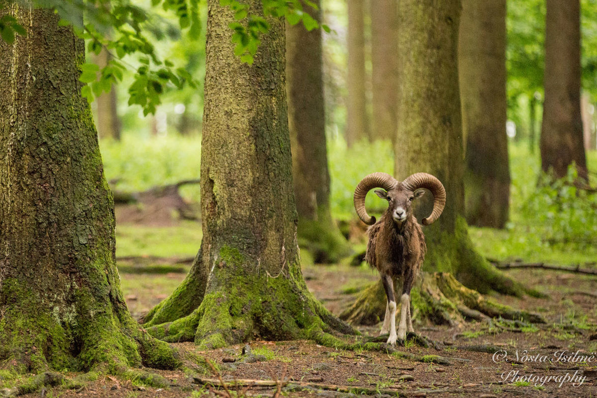 Animal Themes Aries Close-up Day Forest Mammal Nature No People Outdoors Tree Tree Trunk Widder
