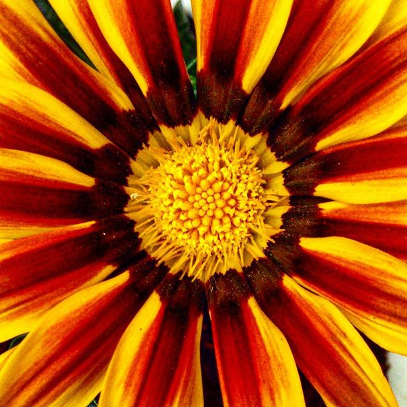 🌻🍃 Bomdia Flor Flowers Instaflower Image_gram Yellow Red Beautiful Fotododia Naturezaperfeita Soulnature_ Quintaflower
