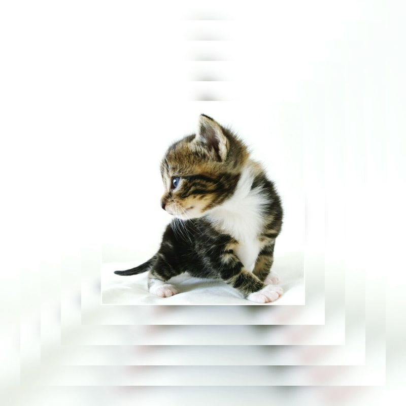 Cut And Paste Domestic Cat Pets Domestic Animals Cute Animal One Animal White Background Animal Themes Indoors  Kitten No People Day BeingCreative Pussycat Dimensions Netherlands