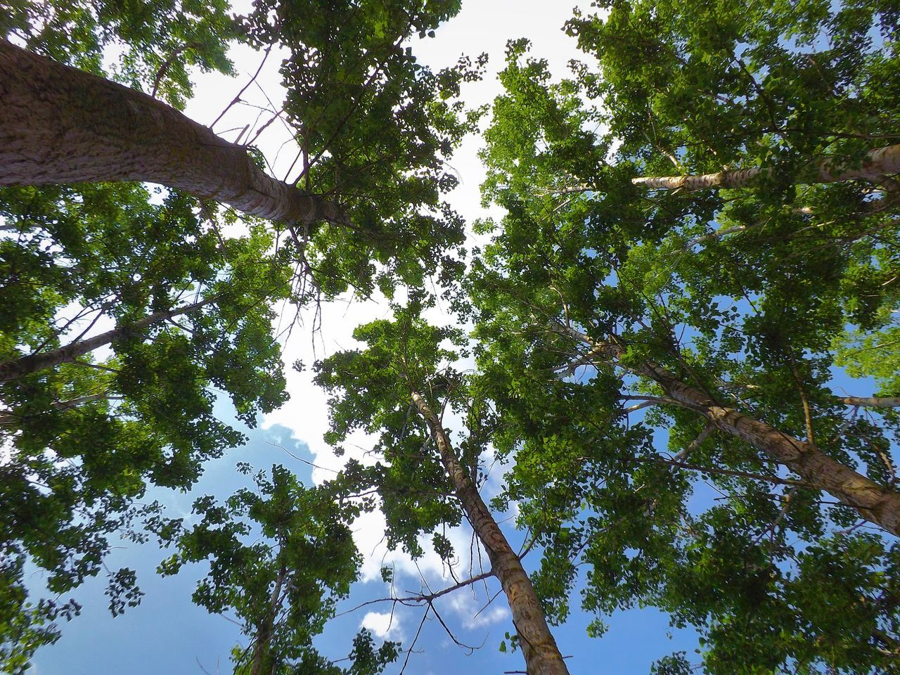Calm Cloud From Down Below From My Point Of View Green Leafes Nature Outdoors Park Sky Tisza Trees Up