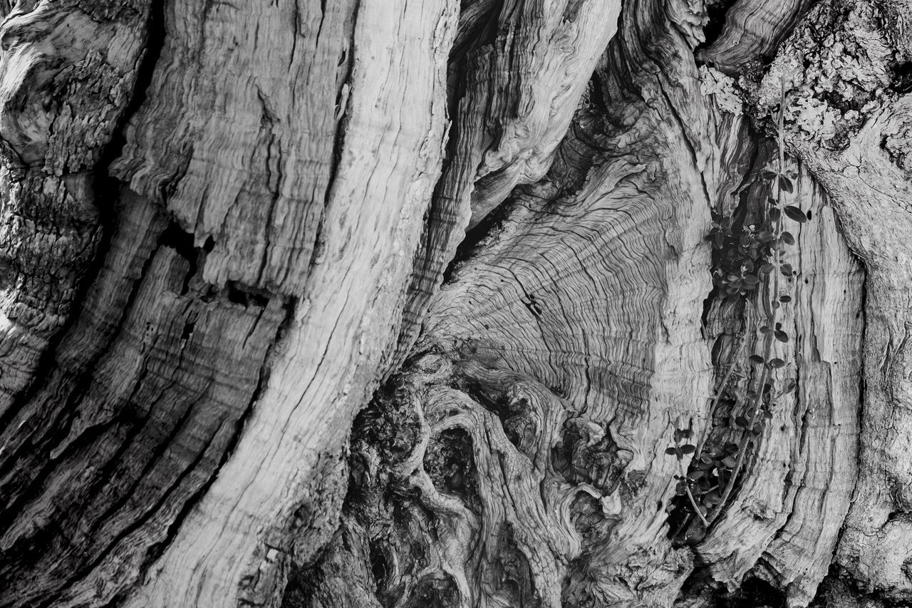 Backgrounds Black & White Black And White Blackandwhite Close-up Cracked Day Full Frame Knotted Wood Nature No People Old Old Olive Tree Olive Tree Outdoors Pattern Rough Textured  Tree Tree Tree Ring Tree Trunk Tree Trunk Wood - Material Wood Grain