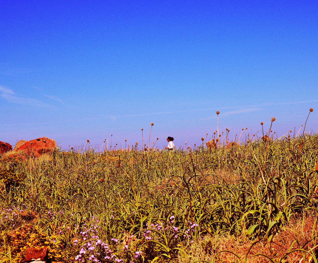 Beauty In Nature Blue Clear Sky Field Flower Grass Growth Nature Outdoors Sky Tranquil Scene