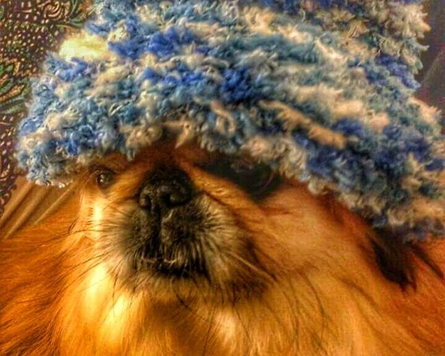 """GM... It's Cold Outside ❄ my neighbor's Dog """"Olive"""" wearing a Blue Wool Hat 😜 Cute ! Have a Nice Monday. Street Fashion OR """"Doggie style"""" 😆🐈🐩🐕❗ Dogs Life Hot Dogs Captured Moment Winter Pet Photography  Pet Love Not My Pet Urban Lifestyle Citylife"""