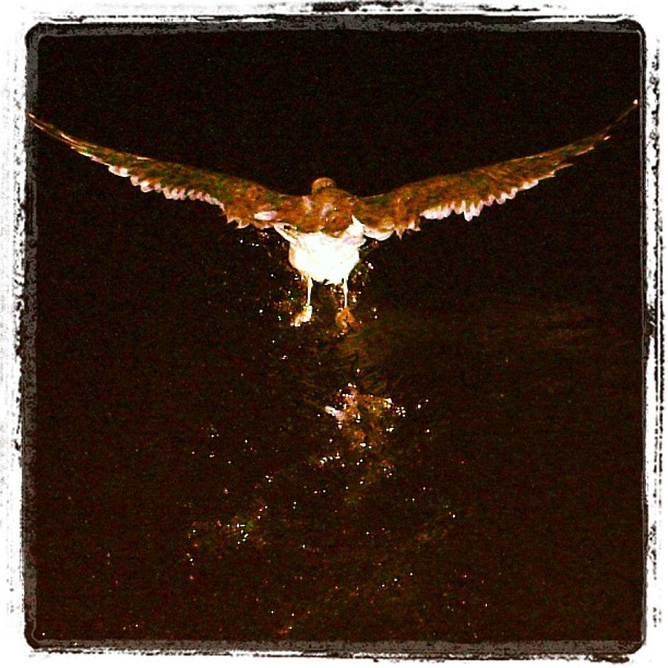Seagull Ocean Sooke Sookebasin boardwalk 642 bc black night