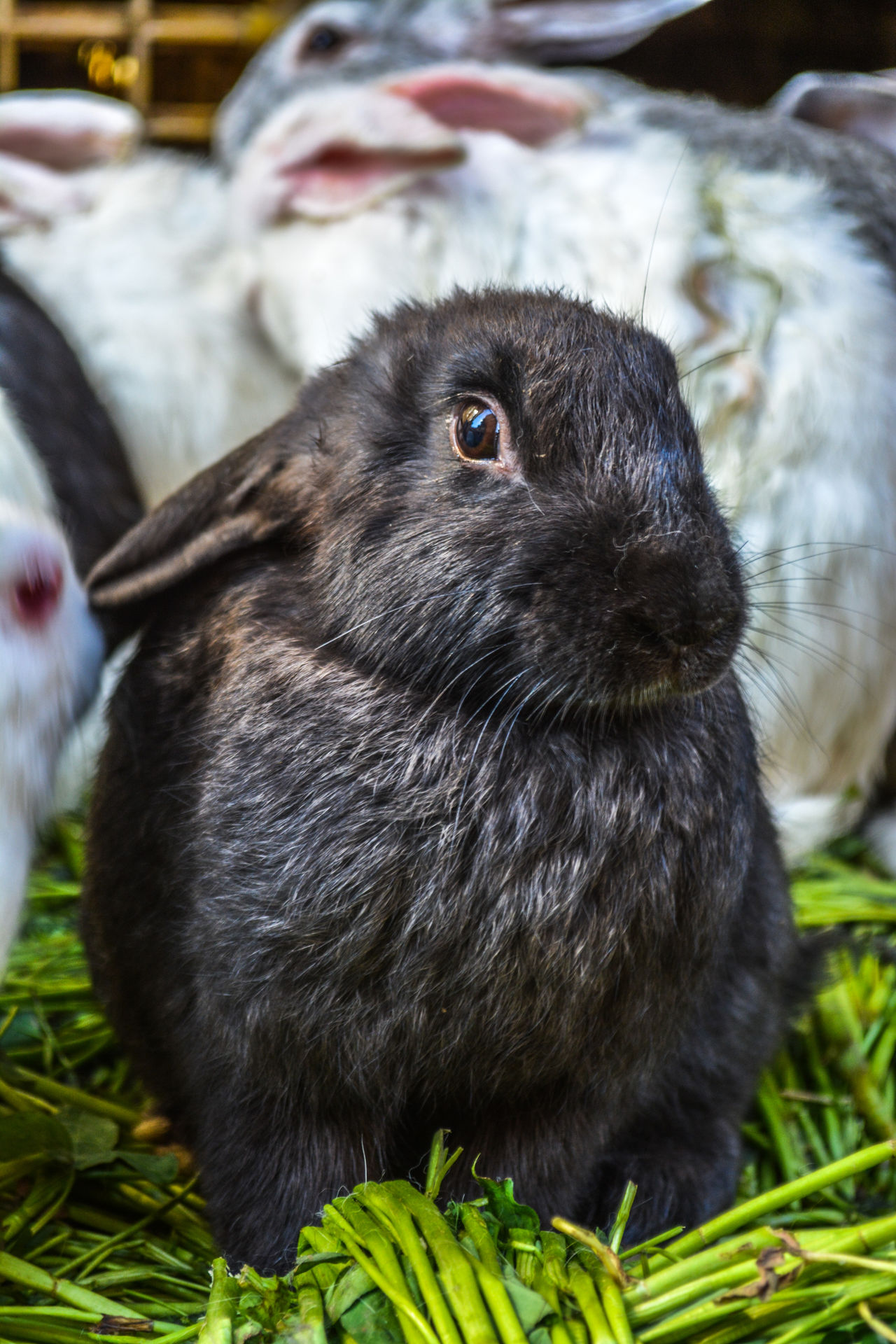 Rabbit Animal Themes Grass Outdoors No People Close-up Rabbit 🐇 Animals Animal Photography Rabbits Animal Head  Animal Eye Rabbit ❤️ Rabbit Ears Pets Rabbit - Animal Looking