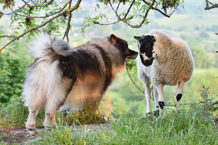 Dog And Sheep I Love Ewe I Love You Inquisitive Keeshond Love At First Sight Meeting A Friend Nose To Nose Sheep Sheep Dog