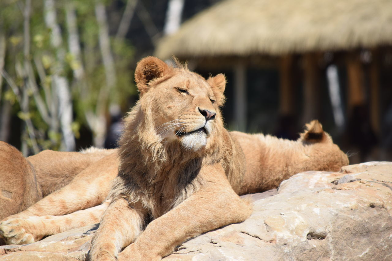 lion Animal Themes Animal Wildlife Animals In The Wild Beauval Day Feline King Lion Mammal Nature No People One Animal Outdoors Power Relaxation Strong Terre Terre Des Lions Zoology