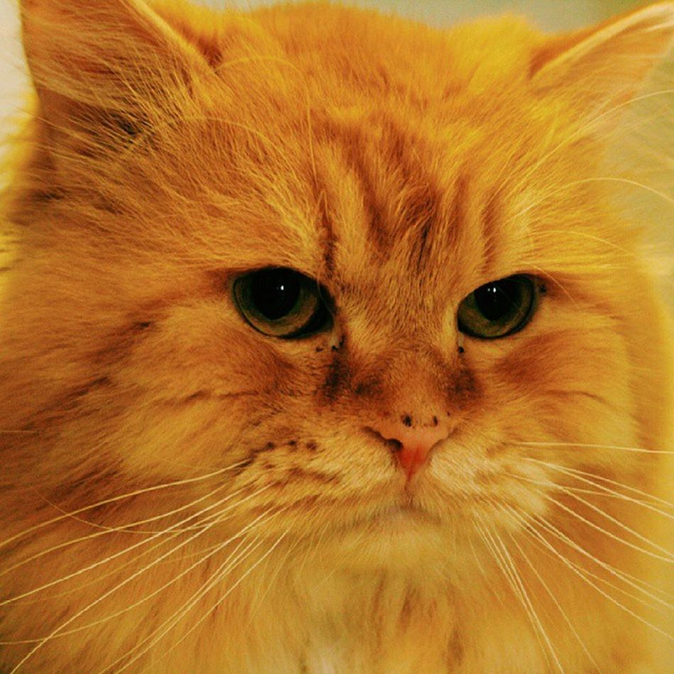 My spontaneous cat. Vscocam Vscogrid Vscovisuals Vscolike vsco vscodaily vscoqatar catstagram persian