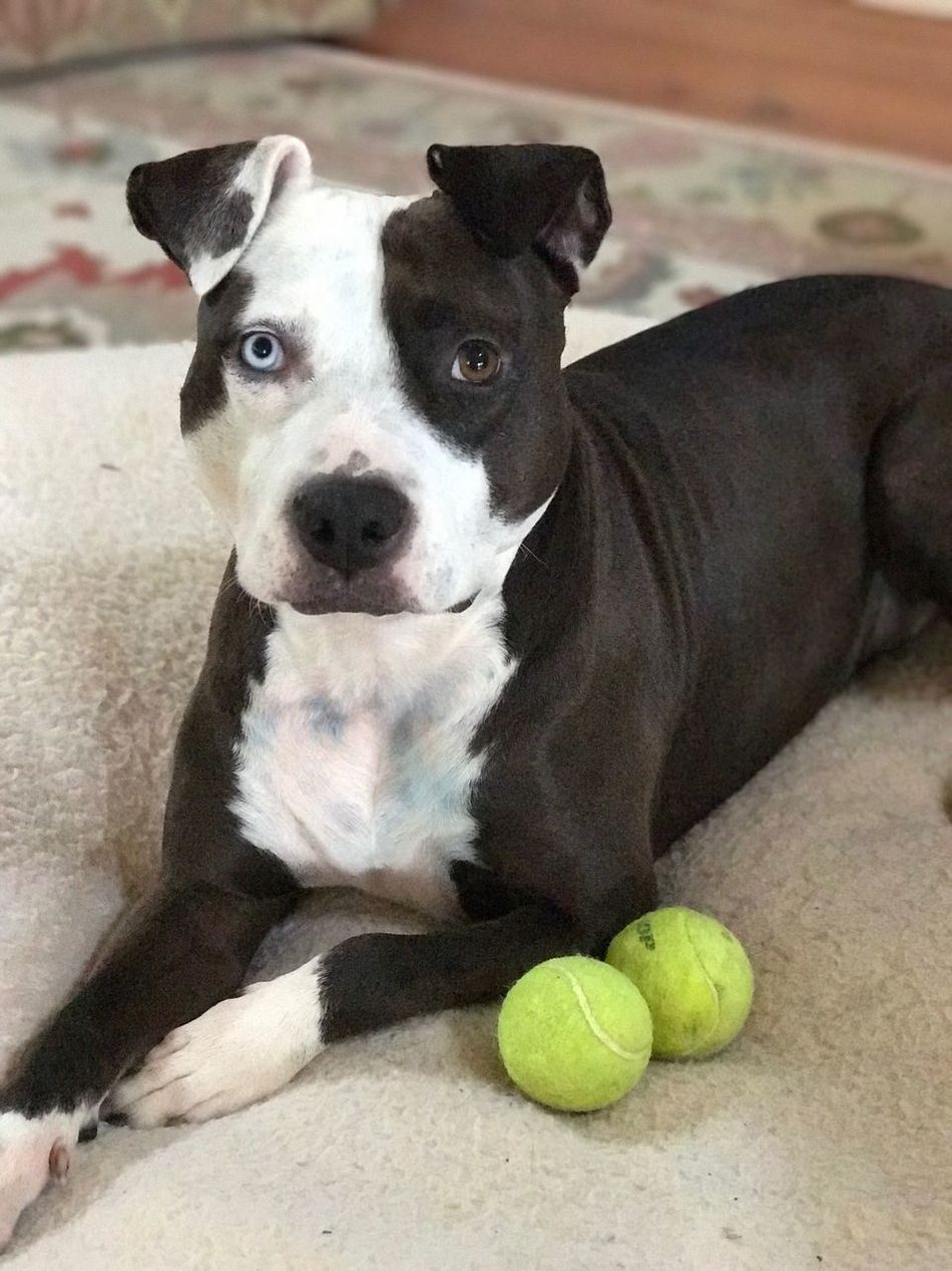Pets Dog Looking At Camera Domestic Animals One Animal Animal Themes Portrait Mammal Indoors  Tennis Ball No People Day Close-up Dog Pitbull Staffy Staffordshire Terrier Heterochromia Iridum Spoon Spoonthedog