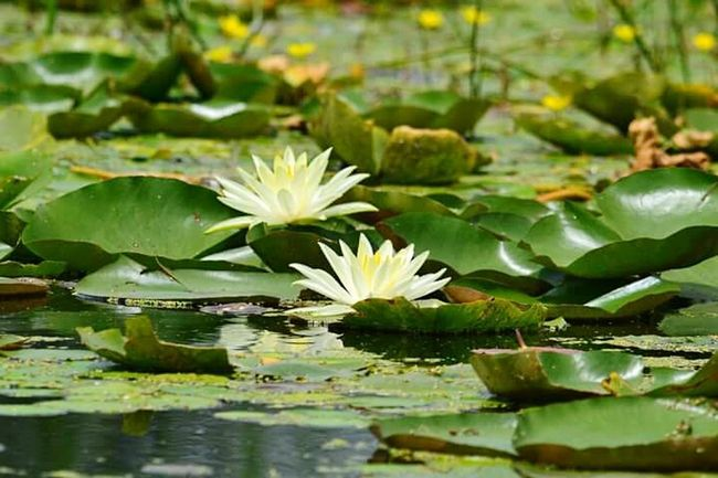 Lily Flower Pond Water Lily Beauty In Nature SriNagar..❄ Srinagar Kashmir Srinagar  Flower Freshness Fragility Water Lily Water Pond Growth Beauty In Nature Floating On Water Petal Flower Head Leaf Lotus Water Lily Lake Simplicity Nature Plant