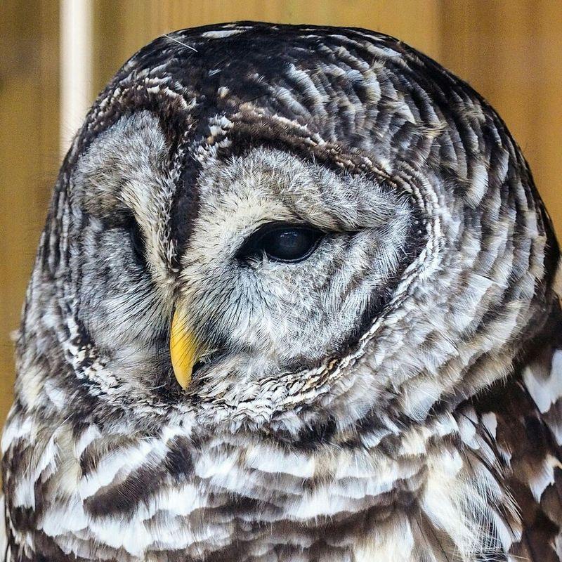 Raptor Owl Olympus OM-D EM-1 40-150 Rehab Bird