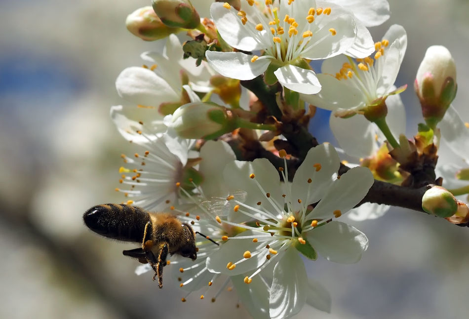 Biene fliegt zu den Schlehenblüten / Bee flies to the sloes Beauty In Nature Bee Best Of Nature Biene Blossom Blüte Close-up Flower Flower Head Flying Insect Macro Nature No People One Animal Outdoors Petal Pollination Prunus Spinosa Sloes Spring Spring Flowers Springtime Tree Tree