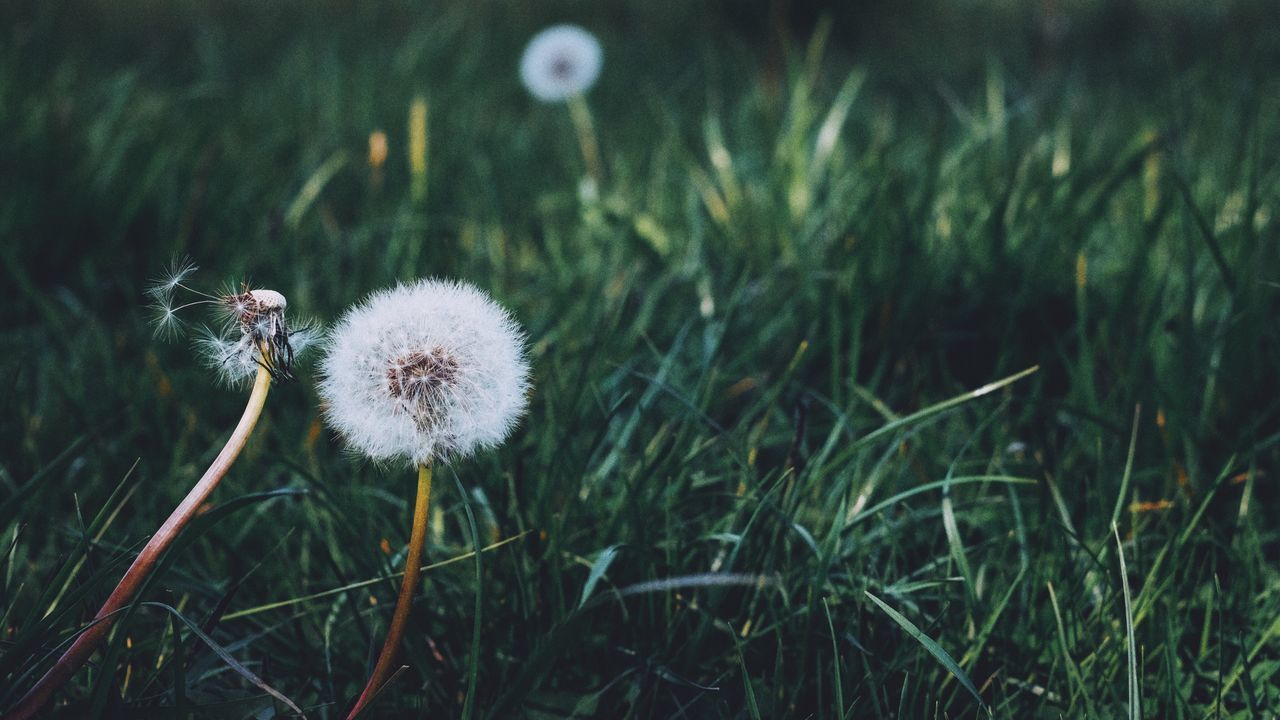 Flower Growth Dandelion Nature Fragility Grass Beauty In Nature Softness EyeEm Best Shots Fujifilm_xseries Plant Close-up Focus On Foreground Freshness Field Wildflower Uncultivated Flower Head No People Outdoors Green Color Day The Great Outdoors - 2017 EyeEm Awards