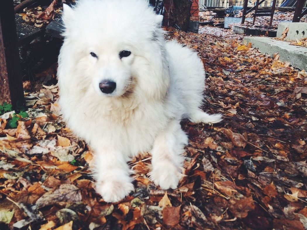 My Dog is White and Fluffy Samoyed My Dogs Are Cooler Than Your Kids I Love My Dog Cane самоед самоедская собака самоедская лайка
