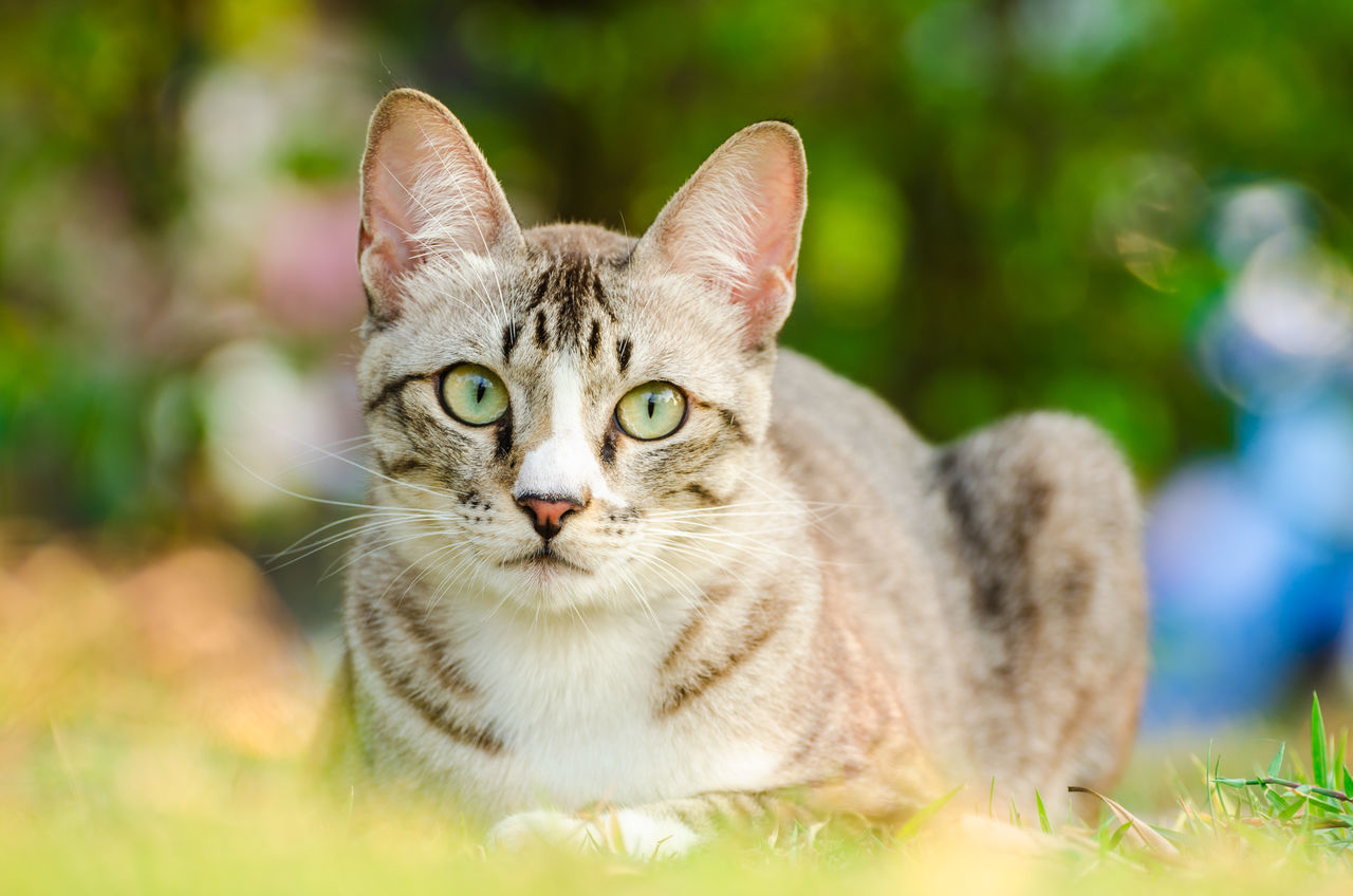 Light brown and cream tabby cat. Staring carefully. Brown Close-up Curiosity Cute Cats Domestic Animals Domestic Cat Eye Feline Fur Mammal Mustache No People One Animal Outdoors Pets Scare Staring Tabby Cat Watchful Eye