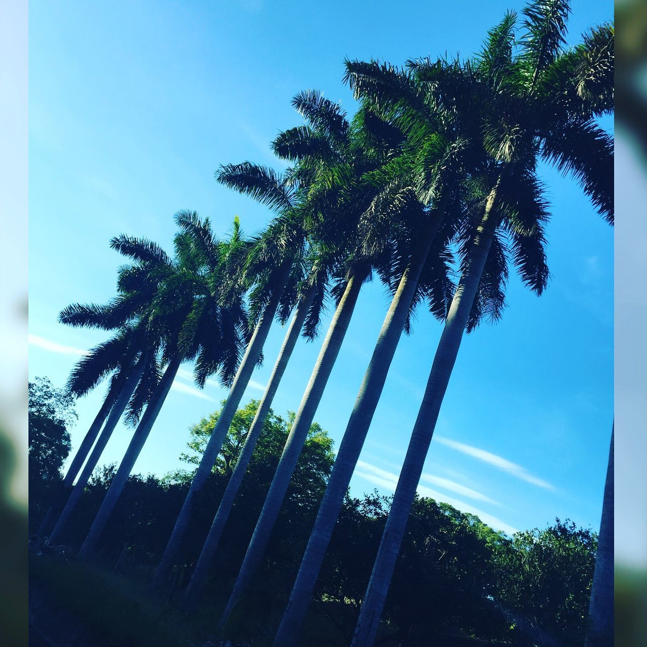 palm tree, tree, sky, tree trunk, growth, low angle view, nature, palm frond, no people, day, beauty in nature, tranquility, tranquil scene, scenics, outdoors, blue, tall, clear sky, close-up