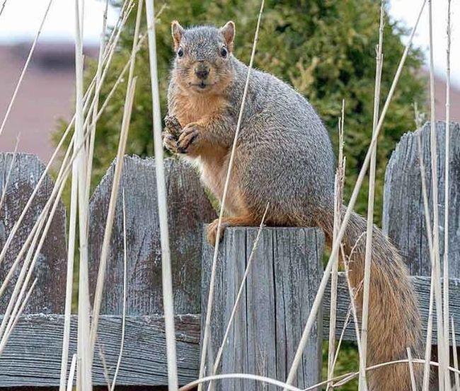 """Hey you, where's my peanuts"" 😄 Squirrels Backyardwildlife Peanutlover Wildlife_perfection Ig_discover_wildlife Igcutest_animals Naturephotography Canongallery Animal_sultans"
