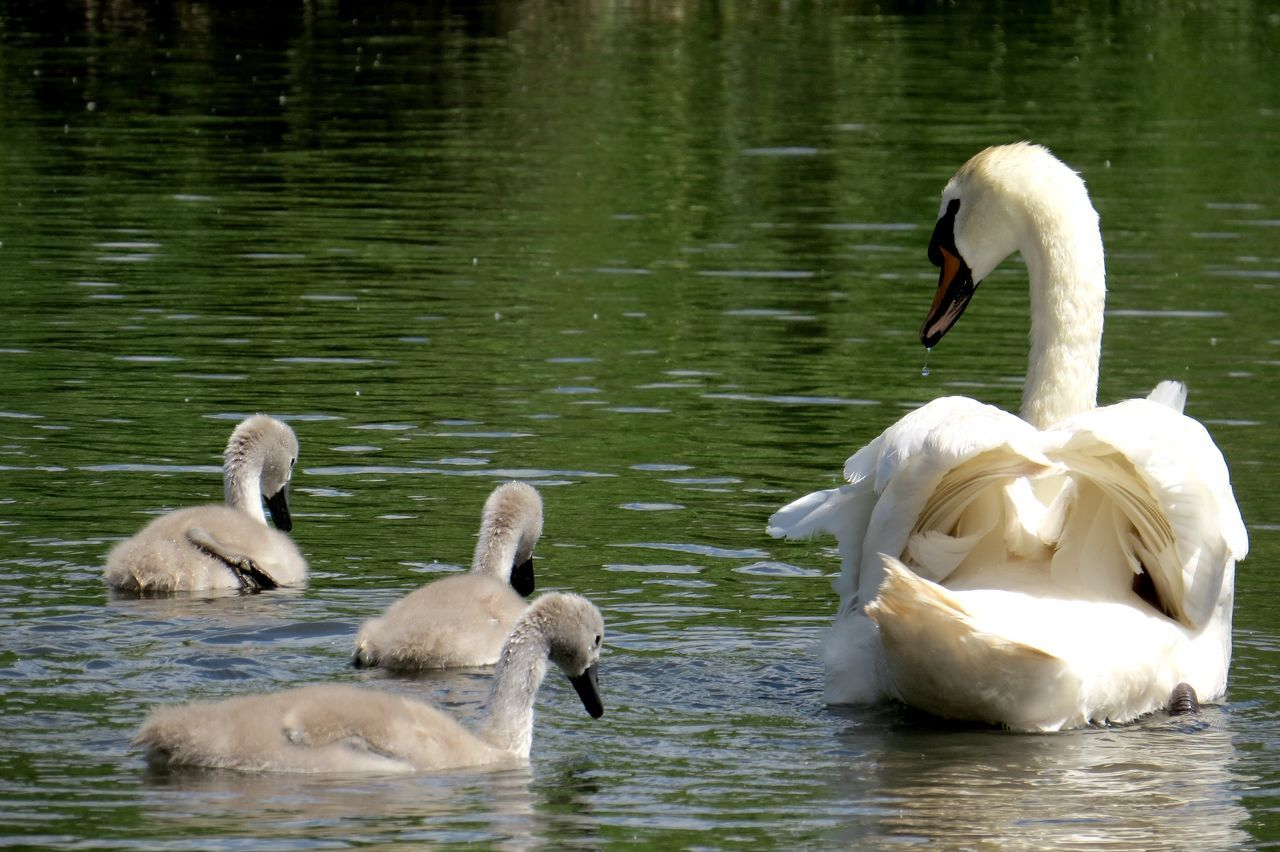 Animal Themes Animal Wildlife Animals In The Wild Baby Swan Beak Beauty In Nature Beauty In Nature Bird Close-up Cute Cute Bird🐥 Cygnet Day Lake Nature Outdoors Pond Pond Life Swan Swimming Water Water Bird Young Animal Young Bird Young Swan
