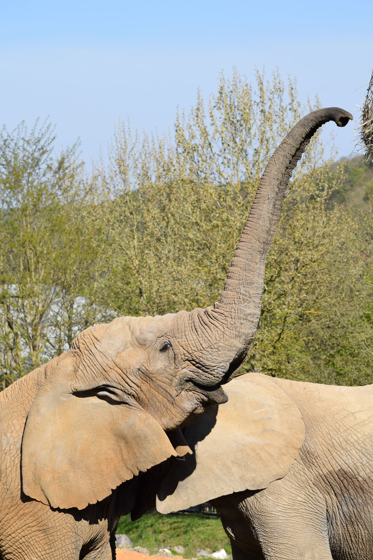 elephant African Elephant Animal Themes Animal Trunk Animal Wildlife Animals In The Wild Beauty In Nature Close-up Day Elephant Mammal Nature No People One Animal Outdoors Safari Animals Side View Sky Tree Tusk
