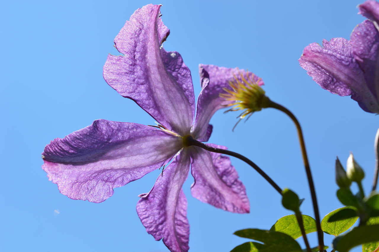 The reason I love summer... Summer Summertime Summer Views Clematis Clematis Flower Flower Flowers_collection Purple Star-shaped Blue Blue Sky Sky Sky_collection Freshness Growth Fragility In Bloom Close-up Outdoors Nature Nature_collection Botany Garden Beauty In Nature Colour Of Life
