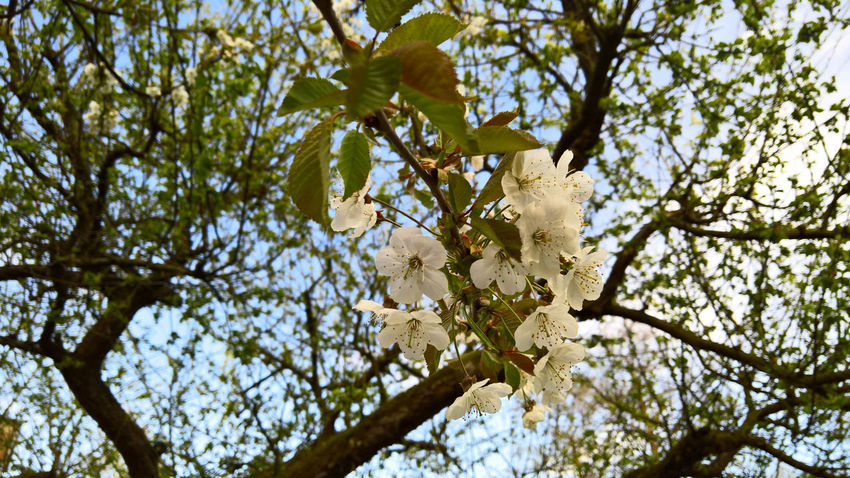 Cherry Backgrounds Blüte Cherry Cherry Blossoms Day Frühling Kirschblüte Kirsche Nature No People Outdoor Sonne Spring Springtime Sun Tree Water White