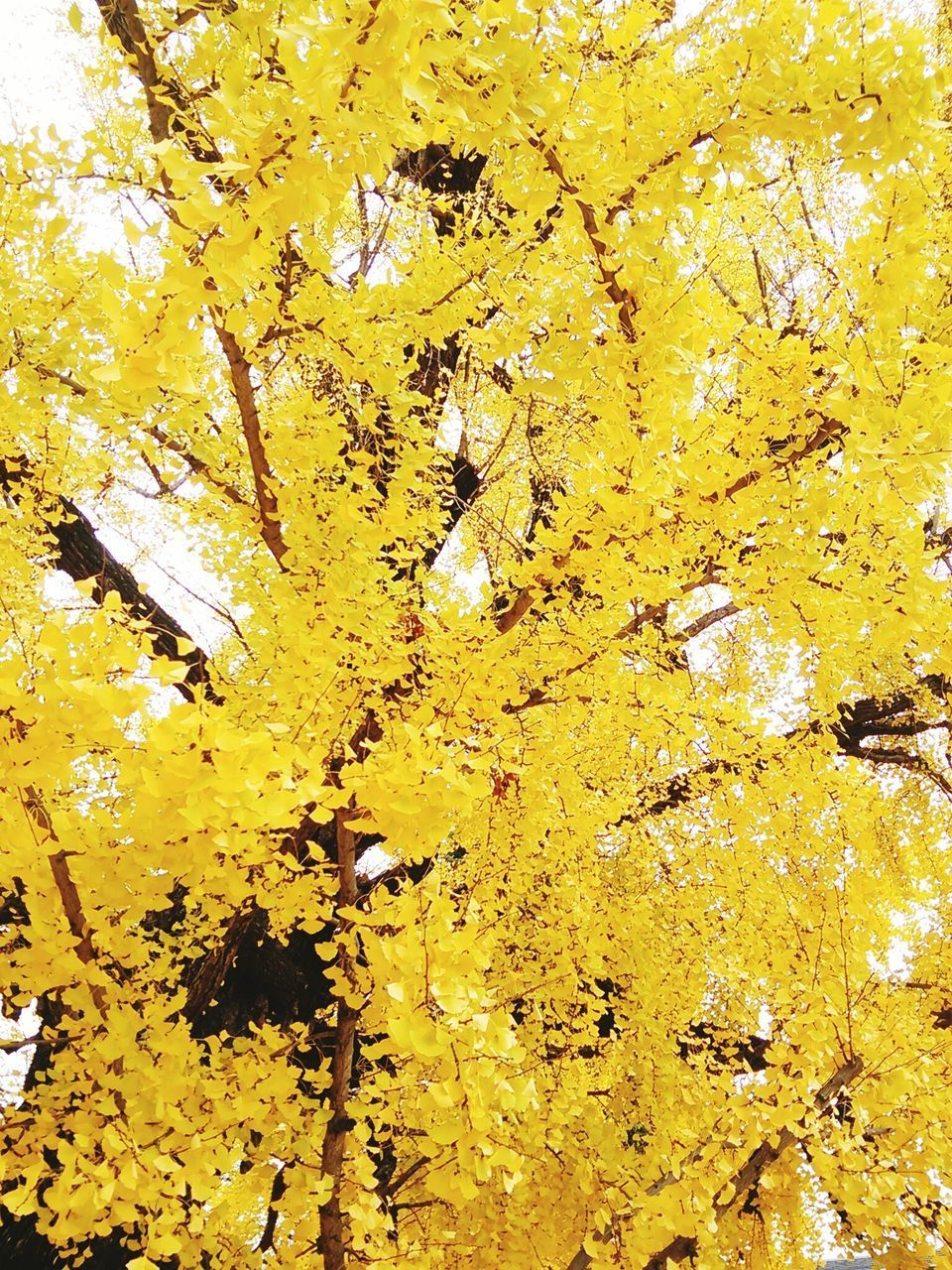 yellow, autumn, leaf, change, growth, nature, tree, no people, close-up, full frame, backgrounds, day, outdoors, fragility, beauty in nature, flower, maple