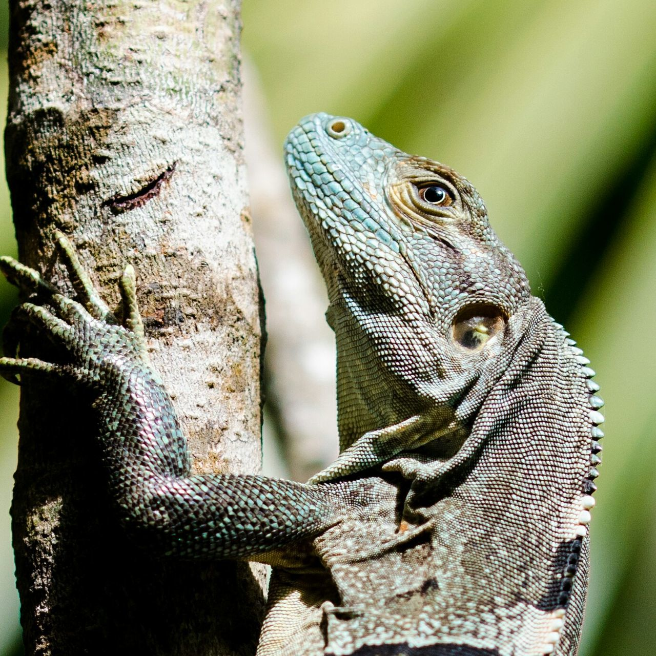 Iguana Iguana Love Iguana Photo Iguana In A Tree Animal Wildlife Animals In The Wild Reptile Close-up No People Wildlife_shots Nature_collection Nature Photography One Animal Nature Costa Rica Wildlife & Nature Wildlife Photography Wildlife_perfection