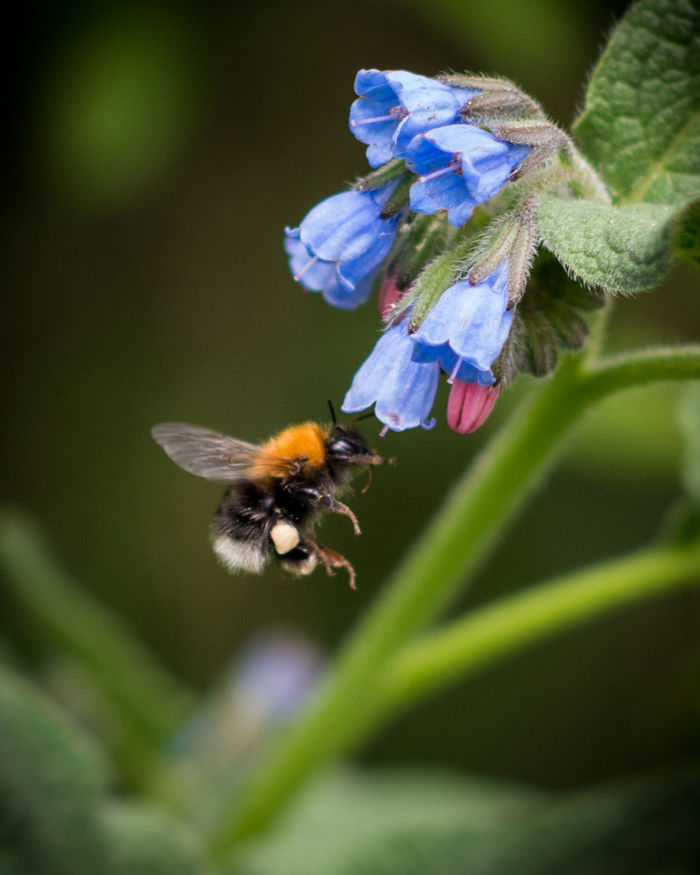 Beauty In Nature Bombus Boraginaceae Botany Bumble Bee Collecting Pollen Bumblebee Bumlebee Comfrey Flower Hymenoptera Insect Nature On Your Doorstep Pollen Pollination Symbiotic Relationship Symphytum Symphytum X Uplandicum