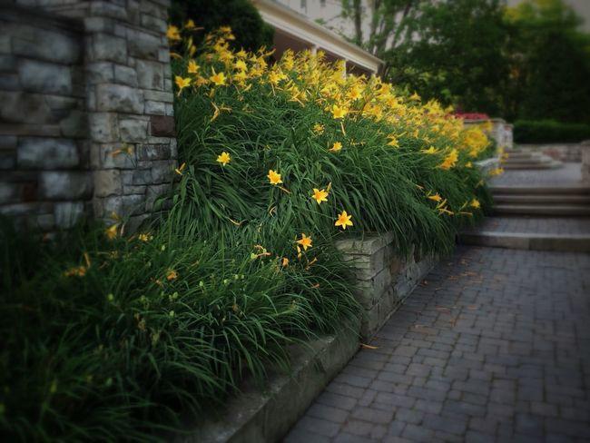 An abundance of lilies Lilies In Bloom Yellow Flowers Yellow Lilies Paletta Park